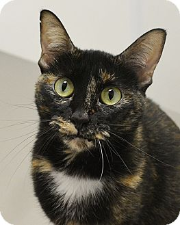 Domestic Shorthair Cat for adoption in Springfield, Illinois - Penelope