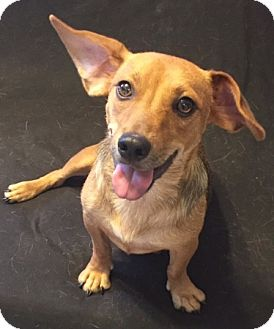 Dachshund Mix Dog for adoption in Providence, Rhode Island - DiDi Pickles