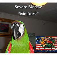 Adopt A Pet :: Mini Macaw Mr. Duck - Vancouver, WA
