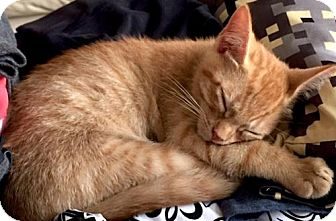 Domestic Shorthair Kitten for adoption in Philadelphia, Pennsylvania - TIGGER  ORANGE         TABBY  KITTEN