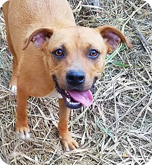 Boxer Mix Dog for adoption in Kingston, Tennessee - Nubs