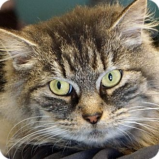Maine Coon Cat for adoption in Sprakers, New York - Jada
