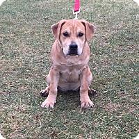 Adopt A Pet :: Sierra - Shelby, MI