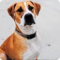 Adopt A Pet :: Tabby - Mt. Pleasant, MI