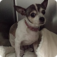 Adopt A Pet :: Orchid - Westminster, CA