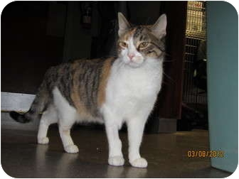 Domestic Shorthair Cat for adoption in Richfield, Ohio - Kelly