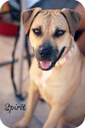 Mastiff/American Staffordshire Terrier Mix Dog for adoption in Justin, Texas - Spirit
