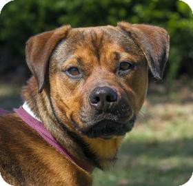 American Pit Bull Terrier Mix Dog for adoption in Gainesville, Florida - Dozer