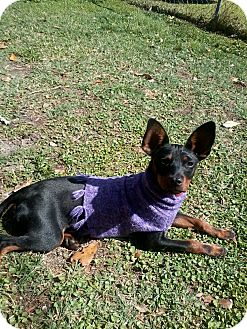 Miniature Pinscher Dog for adoption in Jacksonville, Florida - Peanut