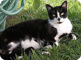 American Shorthair Cat for adoption in Rohrersville, Maryland - BoBo