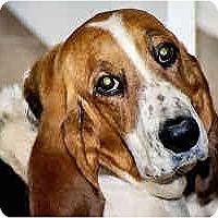 Adopt A Pet :: Georgia Nugget - Phoenix, AZ