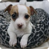 Adopt A Pet :: Jill - La Habra Heights, CA