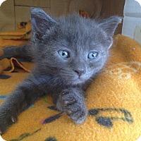 Adopt A Pet :: Diva - Island Park, NY