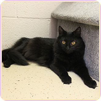Domestic Mediumhair Cat for adoption in Glendale, Arizona - Egypt