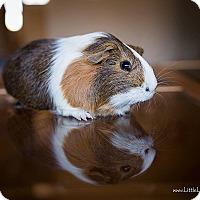 Adopt A Pet :: Nutmeg - Manhattan, KS