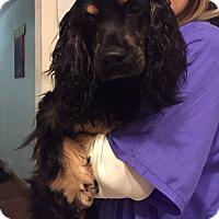 Adopt A Pet :: Delilah - Bristol, CT