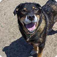 Adopt A Pet :: Bear - Seal Beach, CA