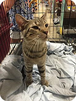 Domestic Shorthair Cat for adoption in Fishers, Indiana - Toad
