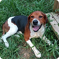 Treeing Walker Coonhound/Beagle Mix Dog for adoption in Pittsboro, North Carolina - Boone