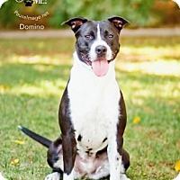 Border Collie/Boxer Mix Dog for adoption in Phoenix, Arizona - DOMINO