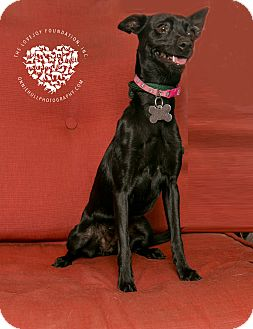 Italian Greyhound/Terrier (Unknown Type, Small) Mix Dog for adoption in Inglewood, California - Onyx