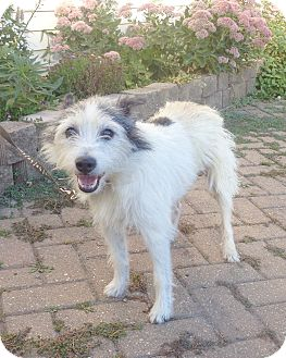 Terrier (Unknown Type, Small) Mix Dog for adoption in West Chicago, Illinois - Ozzy