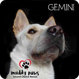 German Shepherd Dog/Chow Chow Mix Dog for adoption in Council Bluffs, Iowa - Gemini