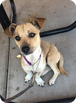 Chihuahua/Dachshund Mix Dog for adoption in Westminster, Colorado - Shylo
