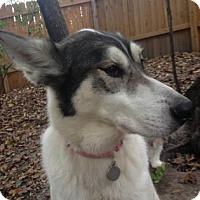 Siberian Husky/German Shepherd Dog Mix Dog for adoption in Northfield, Minnesota - Savannah