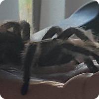 Tarantula for adoption in Aurora, Illinois - Spidey