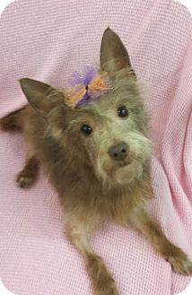 Yorkie, Yorkshire Terrier/Chihuahua Mix Dog for adoption in Akron, Ohio - Coco Chanel