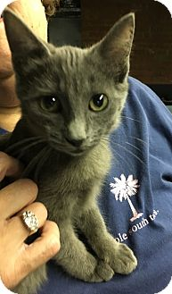 Russian Blue Kitten for adoption in Butner, North Carolina - Lillie