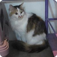 Domestic Longhair Cat for adoption in Jackson, Missouri - LISA