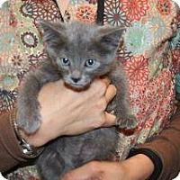 Domestic Shorthair Kitten for adoption in Wildomar, California - 319709