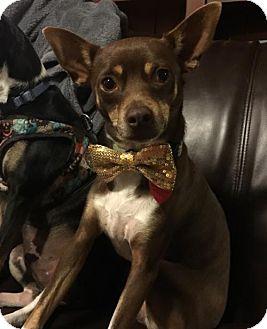 Rat Terrier Dog for adoption in of, New York - Bentley