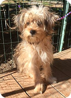 Yorkie, Yorkshire Terrier/Cairn Terrier Mix Dog for adoption in Santa Ana, California - Skye