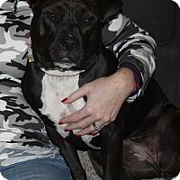 American Pit Bull Terrier Dog for adoption in Cincinnati, Ohio - Stella