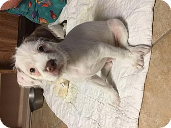 Pit Bull Terrier/Jack Russell Terrier Mix Puppy for adoption in Mission Viejo, California - Rylee