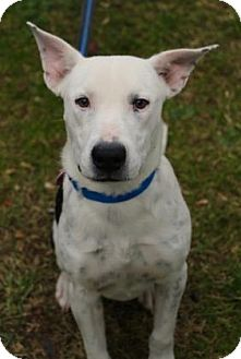 American Pit Bull Terrier Mix Dog for adoption in Chester Springs, Pennsylvania - Jerry
