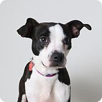 Adopt A Pet :: Dot D161999 - Edina, MN