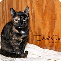 Domestic Shorthair Kitten for adoption in Monterey, Virginia - Tortellini $35 adoption