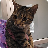 Domestic Shorthair Cat for adoption in Chambersburg, Pennsylvania - Martin