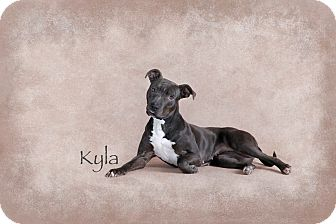 American Pit Bull Terrier/Greyhound Mix Dog for adoption in Des Moines, Iowa - Kyla