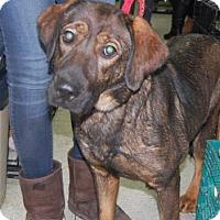 Adopt A Pet :: Ash - Brooklyn, NY