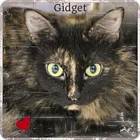 Ragdoll Cat for adoption in Harrisburg, North Carolina - Gidget