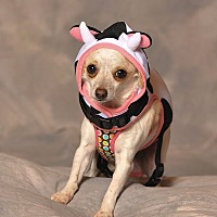 Chihuahua Mix Dog for adoption in Aqua Dulce, California - Chikita