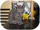 Domestic Shorthair Cat for adoption in Manalapan, New Jersey - Tink