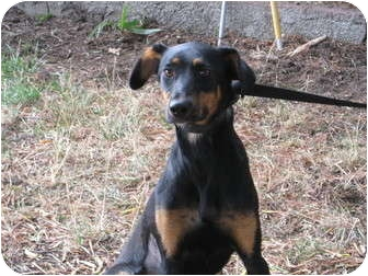 Doberman Pinscher/German Shepherd Dog Mix Dog for adoption in Sun Valley, California - Sally