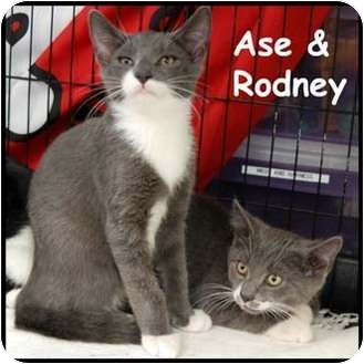 Domestic Shorthair Cat for adoption in Merrifield, Virginia - Rodney
