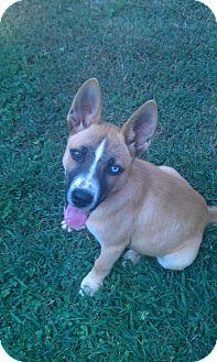 Husky/German Shepherd Dog Mix Puppy for adoption in Conyers, Georgia - Donkey